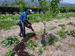 コピー ~ 肥料をまいています~。結構重労働です!.JPG