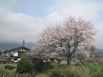 加工場前の桜が満開です.jpg