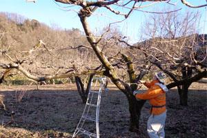 柿の剪定①2013.2.jpg