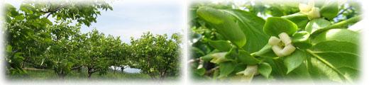 農園 柿畑と花.jpg