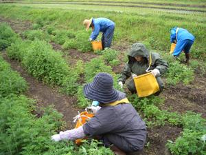 ヨモギの収穫1