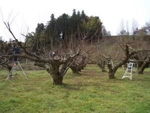 栗の100年木
