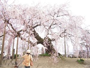 麻績の桜1