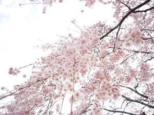 麻績の桜2
