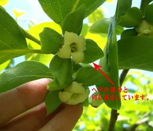 柿の花のガク