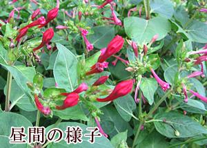 oshiroibana1.jpg
