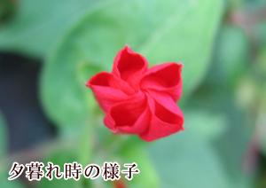 oshiroibana2.jpg