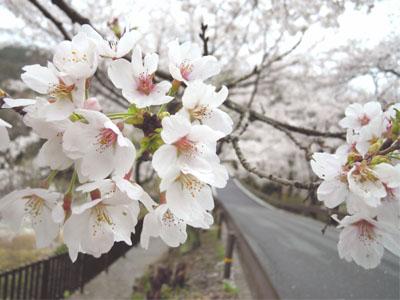 sakuranamiki_4.jpg